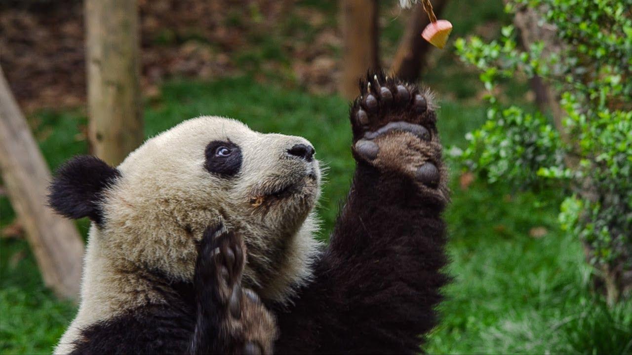Male Panda's 'Sexercise' Training Regime | BBC Earth