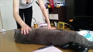 狂暴灰色猫すずまろにちょっかい出す妊婦ママです。案の定、攻撃されま...