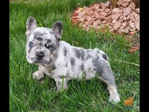 French Bulldog Boy Blue Merle Quad Carrier Chocolate Merle