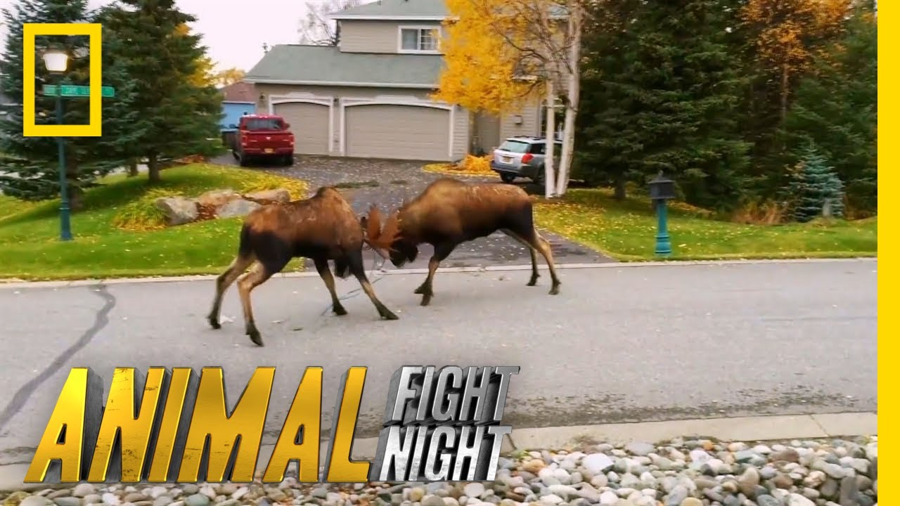Moose V Moose The Battle For Love Animal Fight Night Youtube