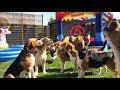 キラキラ眩しい水しぶき。プールパーティを思いっきり満喫するビーグル犬たち