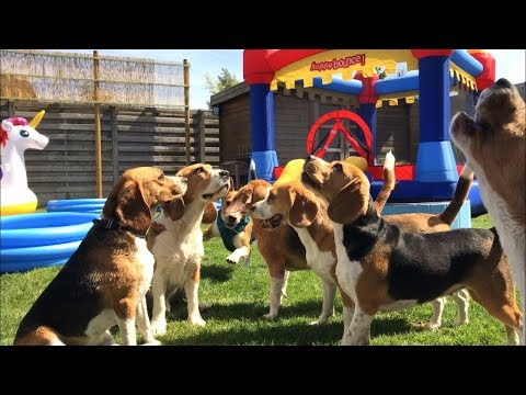 BEAGLE POOL AND BOUNCE HOUSE PARTY!! Invited all of his friends!