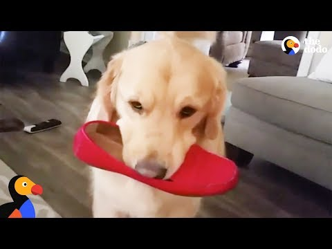 Golden Retriever Dog Steals EVERYTHING In Sight - ARCHIE | The Dodo