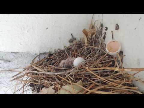 Baby Dove hatches