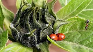 Как избавиться от муравьев и тли при помощи нашатырного спирта