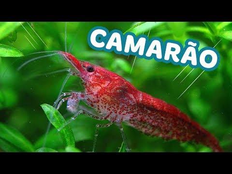 5 coisas que você PRECISA SABER sobre o CAMARÃO RED CHERRY (NEOCARIDINA) - Minha Fauna