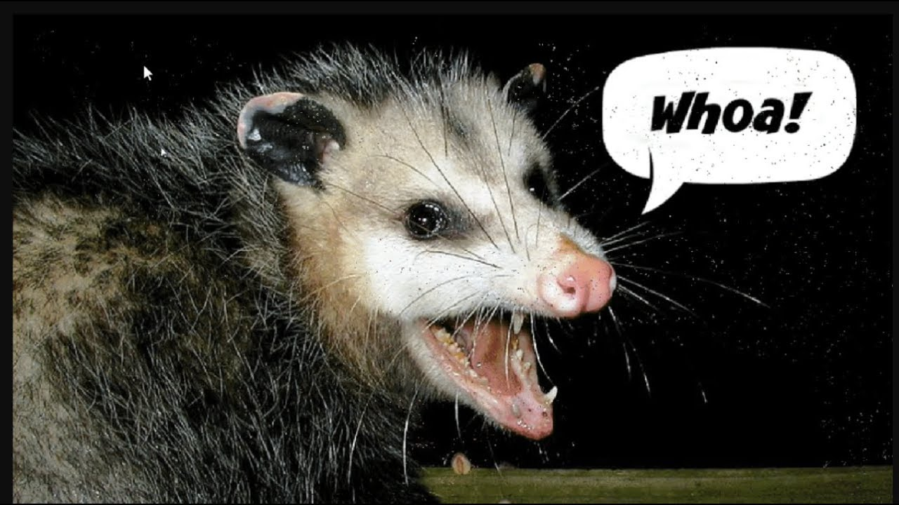 How To Get Rid Of A Possum In Your Garage chasing a possum out of the garage with fireworks!!! - youtube