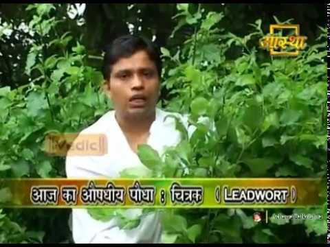 Ayurvedic Benefits of Chitrak | Acharya Balkrishna