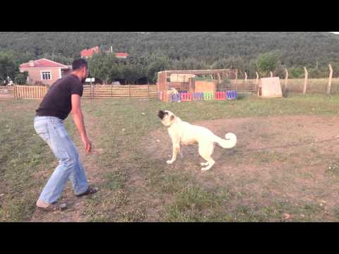 BOZ SHEPHERD DOGS PROTECTION 2