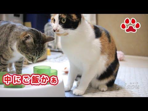 前足を筒に入れるのが怖い猫と平気な猫 A cat who is scared to put the forefoot in the tube and a calm cat