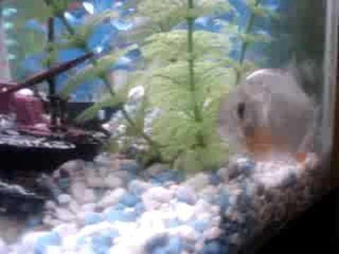 Blup fish