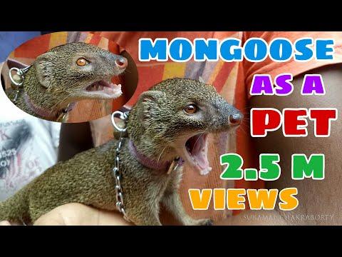 MONGOOSE AS A VILLAGE PET