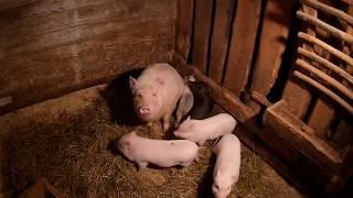 Про свиней, собаку и стройку \\ В деревню!