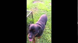 Winnie And Bobby Sue At Rottie Nation Rottweiler Rescue