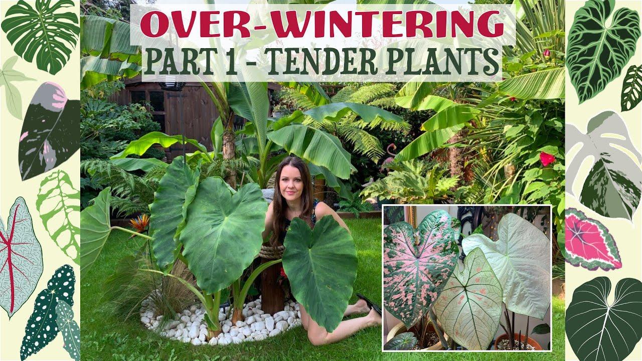 Over-Wintering My Tender Plants - Caladiums - Colocasia Esculenta - Ensete Maurelii 🌴💚🌿