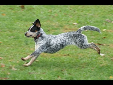 Molly's Adoption Video (a young Australian Cattle Dog)