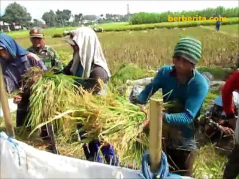 How do Traditional Farmers Harvest Rice