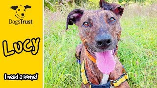 Lucy the Lurcher is Looking For Her Forever Home! | Dogs Trust Manchester
