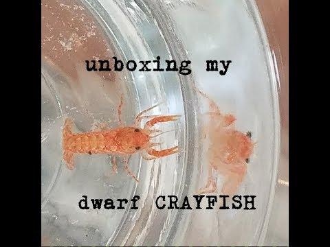 Unboxing My Dwarf Crayfish