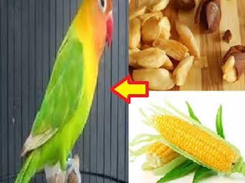 Inilah Makanan Lovebird Biar Gacor Dan Cara Perawatannya Youtube