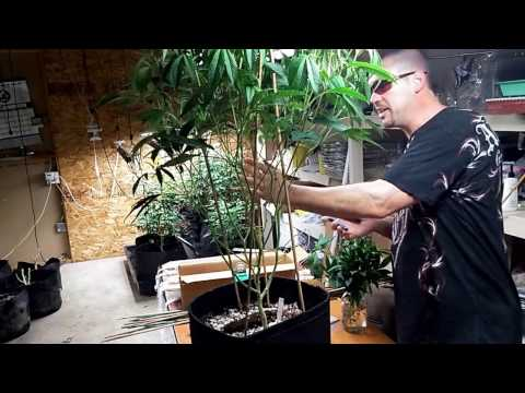How  To Lolli pop Cannabis -Flower Day 14 -Stake, Net, De Leaf & Pinch