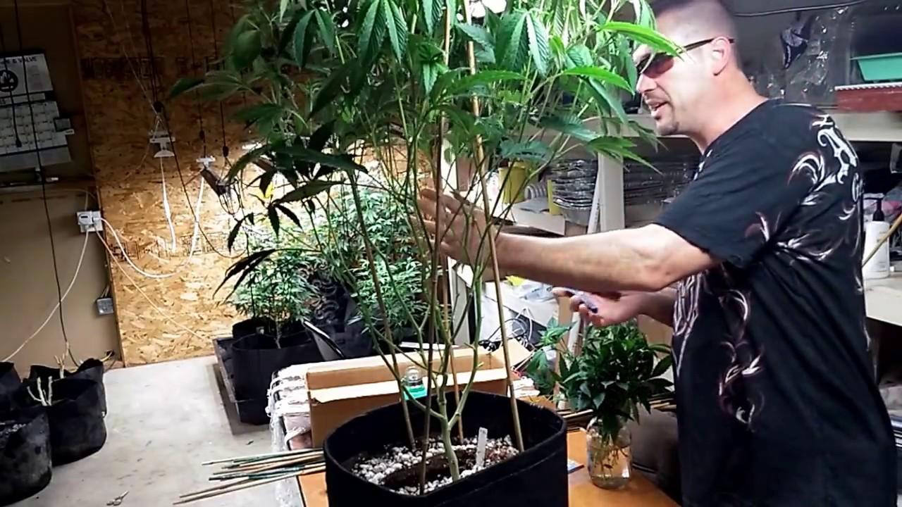 How  To Lolli pop Cannabis -Flower Day 14 -Stake, Net, De Leaf & Pinch