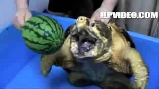 O Poder da mordida da Tartaruga Alligator