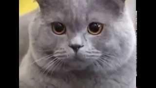 ВЫСТАВКА: Британская голубая короткошерстная кошка
