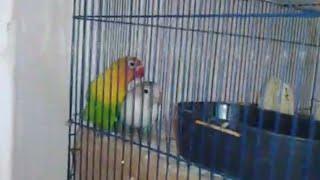 Burung love bird kawin silang