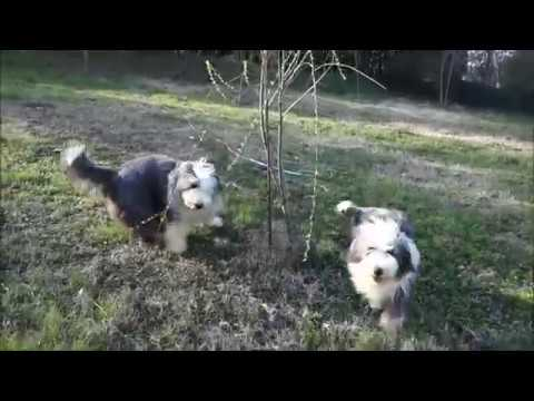 BEARDED COLLIE GREMONTREE - Raskal