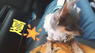 トリミングから帰り愛犬のサンちゃん  に、ワンちゃん用のガムをあげま...
