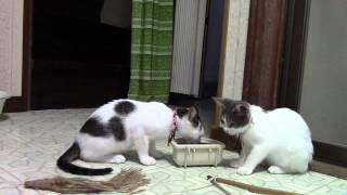 毎日投稿の猫11匹の動画です。 (It is a video of the 11 cats of posti...