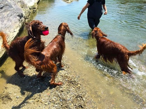 Irish Setter it played in the river!