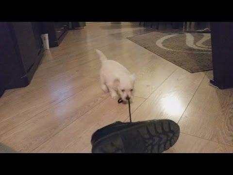 West Highland White Terrier Puppy 8 Weeks Vs Shoe