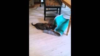 Dropjes Kampf mit dem Teppich