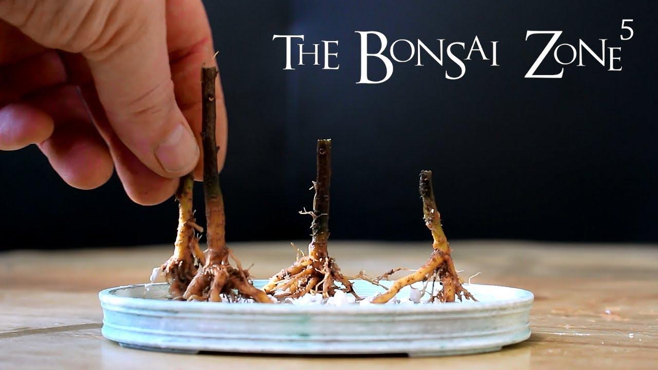 Bougainvillea Bonsai Part 3 The Bonsai Zone Jan 2018 Youtube
