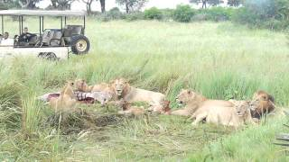lion pride with cubs finishing a zebra kill little mombo february 6 2013