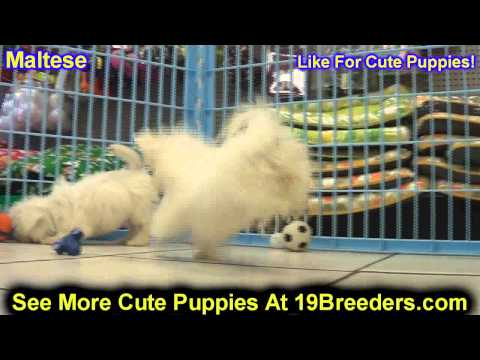 Maltese, Puppies, For, Sale, In, Clifton, New Jersey, NJ, Morris, Passaic, Camden, Union, Ocean, Mon