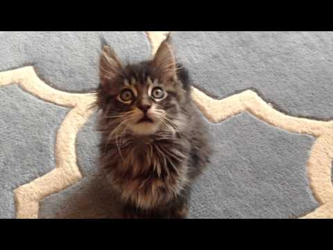 Brumby the Maine Coon kitten, aged 8 weeks :)