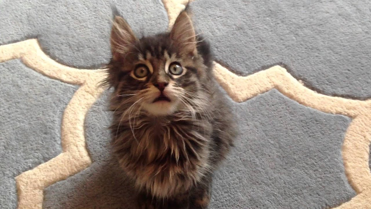 Brumby the Maine Coon kitten, aged 8 weeks :) - YouTube
