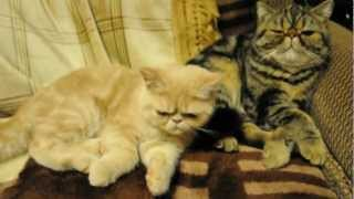 Exotic-Shorthair.AVI