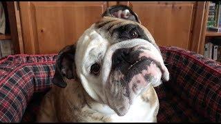 reuben-the-bulldog-if-humans-acted-like-bulldogs