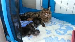 Котята Мейн Кун(Питомник кошек Bandcоon., 2012-12-14T12:55:29.000Z)