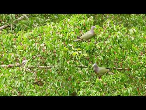Indah Sekali!! Menyaksikan Burung Punai Hidup Bebas Di Habitat Alaminya