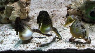[HD] Seahorse