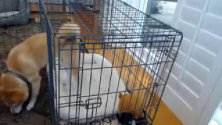 Miso - Shiba Inu Beginning Crate Training