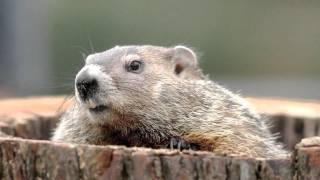 Groundhogs!!