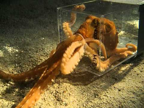 Watch octopus squeeze through tiny hole
