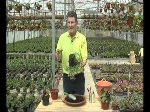 El Jardinero En Casa Petunias Youtube