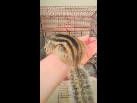 Addorable Pet Siberian Chipmunk , Named Alvin Chip Chip Peep & Chipmunk Information